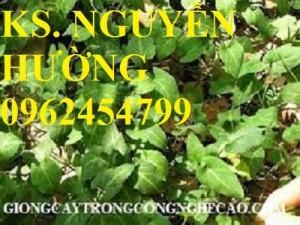 Chuyên cung cấp cây giống hà thủ ô đỏ và sản phẩm hà thủ ô đỏ chất lượng cao