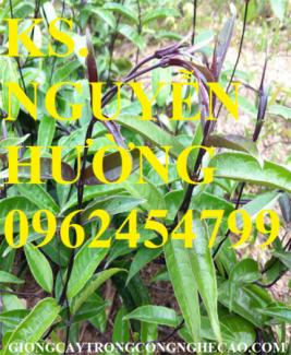 Chuyên cung cấp cây giống ba kích và sản phẩm ba kích củ chất lượng cao