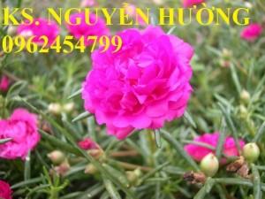 Chuyên cung cấp giống cây hoa mười giờ các màu số lượng lớn cây đảm bảo chất lượng