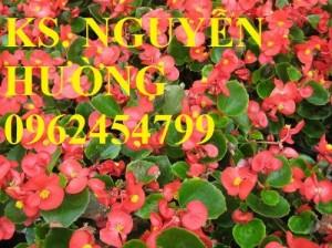 Chuyên cung cấp hoa thu hải đường (sen cạn) chất lượng cao
