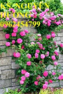 Chuyên cung cấp hoa hồng leo tường vi các màu chất lượng cao