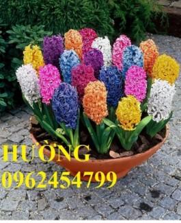 Chuyên cung cấp giổng củ hoa tiên ông và hoa tiên ông các màu số lượng lớn đảm bảo chất lượng