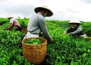 Cách tạo ra bột trà xanh nguyên chất
