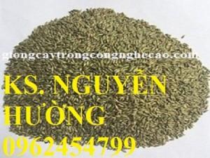 Chuyên cung cấp giống cỏ ghine và hạt giống cỏ ghinê chất lượng cao