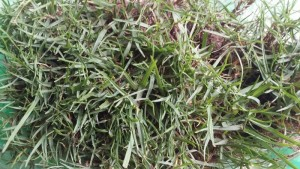 Cỏ thật cỏ golf hạt cỏ golf, cỏ tip eagle, cỏ paspalum, cỏ bermudar