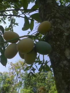 Hạt giống rau sắng ,rau ngót rừng