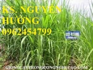 Chuyên cung cấp giống cỏ VA06 chất lượng cao