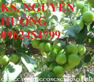Chuyên cung cấp giống táo ngọt h12 chất lượng cao