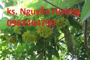Chuyên cung cấp cây giống thiên lý chất lượng cao