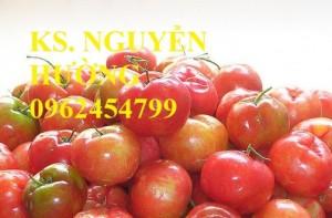 Chuyên cung cấp giống cây sơri (sơ ri) chất lượng cao