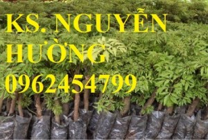 Chuyên cung cấp giống cây đinh lăng chất lượng cao