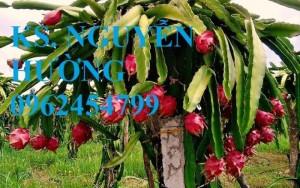 Chuyên cung cấp giống cây thanh long ruột đỏ uy tín, chất lượng