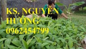 Chuyên cung cấp cây giống chuối tây thái lan uy tín, chất lượng