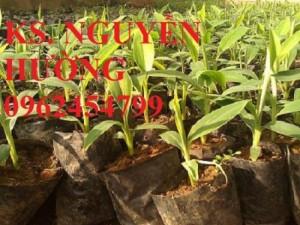 Chuyên cung cấp giống chuối tiêu hồng uy tín, chất lượng cao