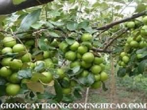 Cây táo đại giống uy tín chất lượng cao