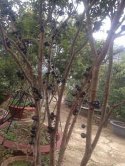 Cây Nho thân gỗ chín năm