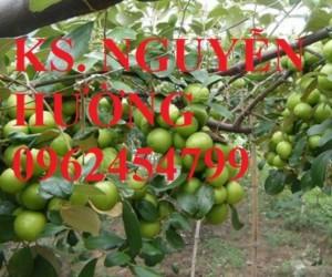 Chuyên cung cấp giống cây táo đài loan chất lượng cao