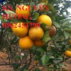 Chuyên cung cấp giống cây cam vinh chất lượng cao