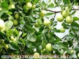 Giống táo ngọt h12