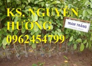 Chuyên cung cấp giống cây trám trắng chất lượng cao