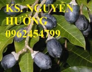 Chuyên bán giống cây trám đen chất lượng cao