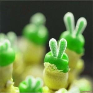 Hạt giống tai thỏ nho nhỏ