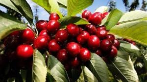 Hạt giống giống cherry