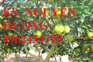 Chuyên cung cấp giống cây cam v2 uy tín, chất lượng