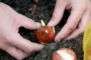 Chuyên cung cấp củ giống hoa lay ơn số lượng lớn, giá hấp dẫn cho khách hàng trồng nhiều