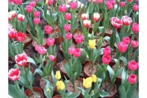 Bán cây thương phẩm hoa tuy lip tốt giá rẻ, cung cấp sỉ lẻ, củ giống hoa cho khách trồng tết