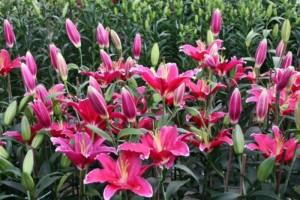 Chuyên cung cấp cây hoa lily thương phẩm uy tín chất lượng cao
