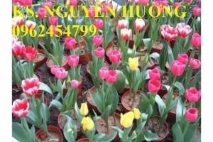 Chuyên cung cấp cây hoa tuy lip nhiều màu uy tín, chất lượng