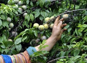 Chuyên cung cấp giống cây mận tam hoa uy tín chất lượng cao