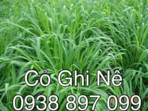 Bán hạt giống cỏ chăn nuôi