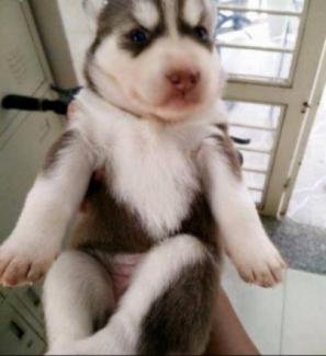 Chó husky Sài Gòn giá rẻ đây!