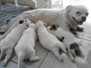 Chó Nhật Lai Bắc Kinh Dễ Thương Nhé!