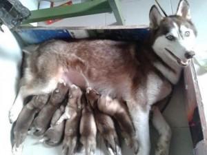 Husky Siberia Giá Rẻ Cho Những Ai Yêu Thú Cưng