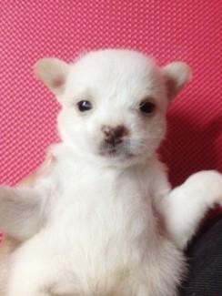 Chihuahua Lai Phóc Giá Rẻ Cho Bé Mau Lớn