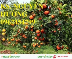 Chuyên cung cấp giống cây cam canh, cam cara ruột đỏ không hạt, cam sành, cam v2, cam vinh, cam xoàn
