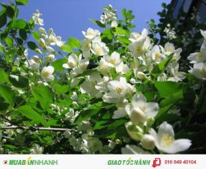 Tinh dầu Hoa Lài ( hoa nhài) nguyên chất 1000ml