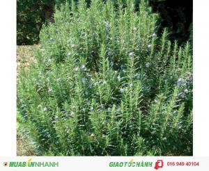 Tinh dầu cỏ xạ hương nguyên chất 1000ml