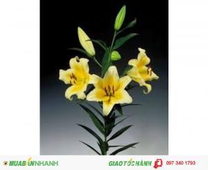 Lily vàng thơm bán đủ 1 sọt 150 củ, giá tùy giống, số lượng và size dao động từ 11.200đ - 16.400đ/ 1 củ. Liên hệ: 0962.209.813