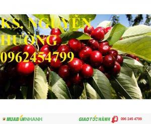 Giống cây cherry (giống cây che ry), cây cherry brazil, cây cherry anh đào nhập khẩu