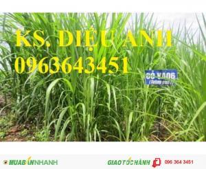 Chuyên cung cấp hom giống cỏ chăn nuôi va06 số lượng lớn, chất lượng cao
