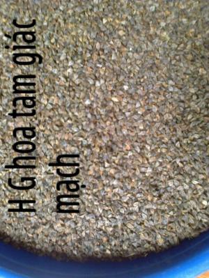 hạt giống hoa tam giác mạch