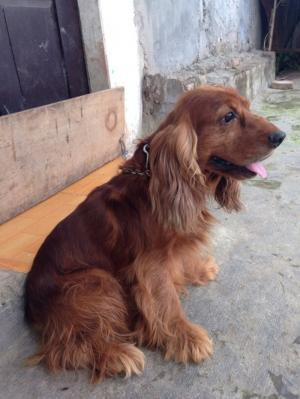 Nhận phối giống chó Tây Ban Nha (CockerSpaniel)