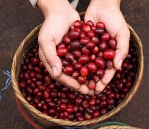 Lựa chọn cà phê đúng chuẩn, để có mùi vị và chất lượng thật tốt.