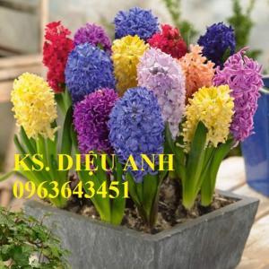 Bán củ giống hoa tiên ông tết nhiều màu, số lượng lớn, chất lượng cao