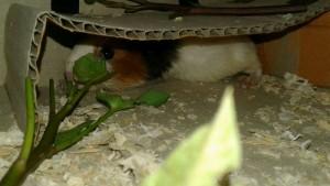 Chuột lag