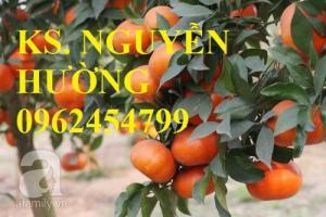 Chuyên cung cấp giống cây cam canh, cam đường, cam đường canh chuẩn giống